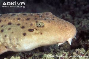 Epaulette-shark-close-up