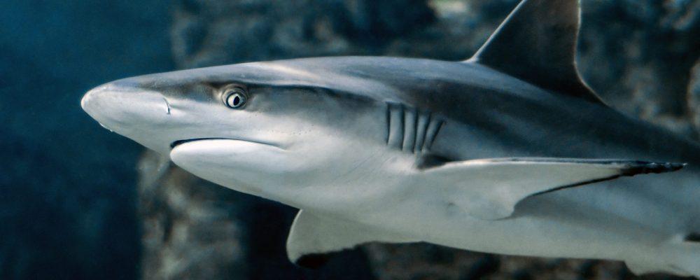 cropped-shark-3197585.jpg
