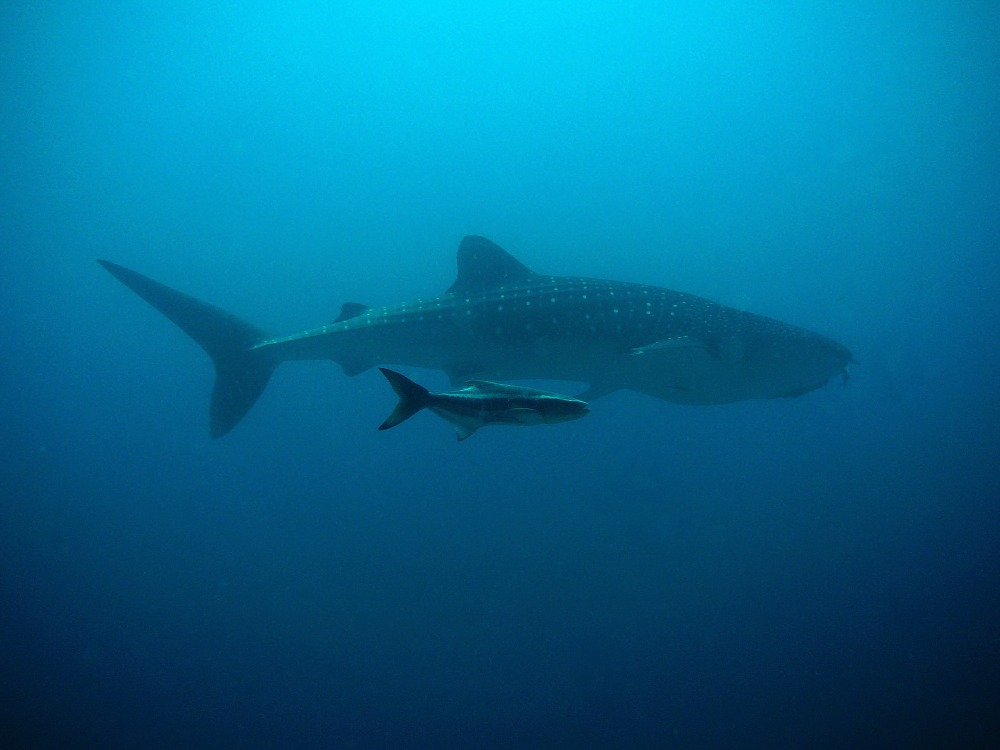 whale-shark-207401 (1)