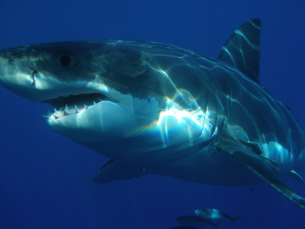 great-white-shark-398276.jpg