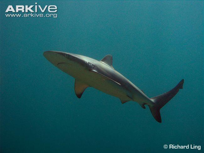Juvenile-dusky-shark-