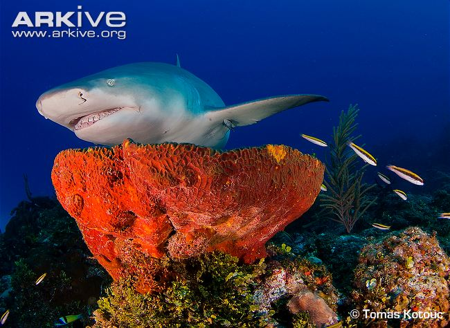 lemon-shark-swimming-over-coral-reef