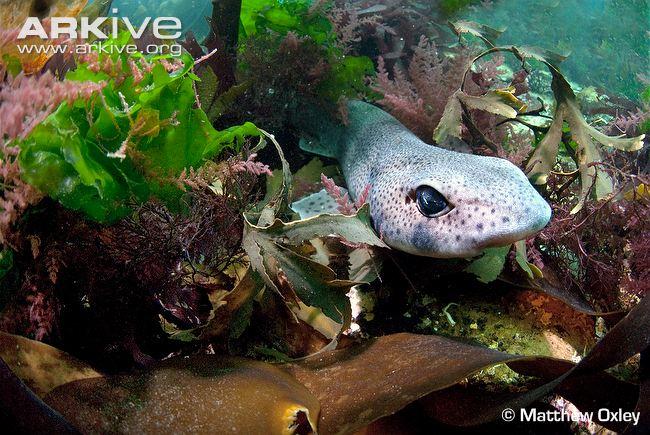 sandy-dogfish